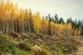 Yellow Autumn Birch Foliage