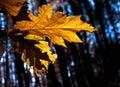 Yellow autumn leaf Royalty Free Stock Photo