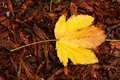 Yellow autumn leaf Royalty Free Stock Photo