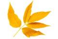 Yellow autumn leaf ash on white background Royalty Free Stock Photo
