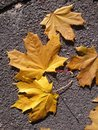 Yellow Autumn Leaves