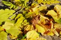 Yellow autumn leaves, background Royalty Free Stock Photo