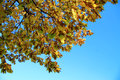 Yellow autumn leaves on the branches against blue sky an Royalty Free Stock Photo