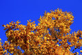 Yellow autumn leaves on the branches against blue sky an Stock Photos