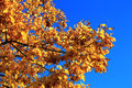 Yellow autumn leaves on the branches against blue sky an Royalty Free Stock Photos