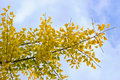 Yellow autumn leaves on Ginkgo biloba Stock Photography