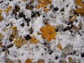Yellow autumn leaves lie on the ground covered with first snow in november, bird footprints on the ground. Winter is coming Royalty Free Stock Photo