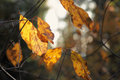 Yellow autumn leaves in the morning sun Royalty Free Stock Photography