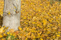 Yellow autumn leaves under a tree Royalty Free Stock Photo
