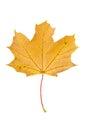 Yellow autumn maple leaf isolated on white background Royalty Free Stock Photo