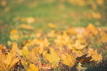 Yellow autumn Maple leaves on green grass. Bokeh blurred artistic background Royalty Free Stock Photo