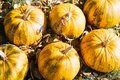 Yellow autumn pumpkins in garden