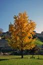 Yellow autumn tree in the city park big with beautiful kalemegdan fortress belgrade Stock Photos