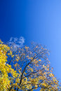 Yellow Autumn Trees Stock Images