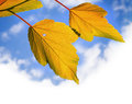 Yellow autumnal leaves above bright cloudy sky background Royalty Free Stock Photography