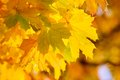 Yellow autumnal maple leaves Stock Photos