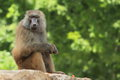 Yellow baboon Stock Images