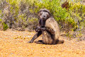 Yellow baboon an adult papio cynocephalus Stock Photos