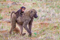 Yellow baboon baby riding piggy back on back of adult Royalty Free Stock Image