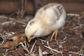 Yellow baby chick foraging a for insects Royalty Free Stock Image