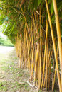 Yellow bamboo in the garden Stock Images