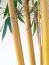 Yellow bamboo on white background Stock Photography