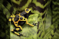 Yellow banded poison dart frog amazon rain forest of guyana and venezuela macro of a tropical poisonous animal kept as a pet in a Stock Photography