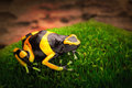 Yellow banded poison dart frog Royalty Free Stock Photo