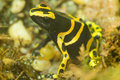 Yellow banded poison dart frog - Yellow poison arrow frog - Dend Royalty Free Stock Photos
