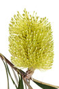 Yellow Banksia Flower Isolated Royalty Free Stock Photo