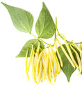 Yellow beans fresh isolated on a white background Royalty Free Stock Photography
