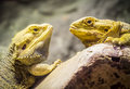 Yellow bearded dragons looking at each others Stock Photography