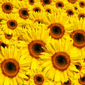 Yellow Beauties Royalty Free Stock Photo