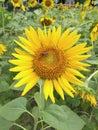 Yellow beautiful sunflower Royalty Free Stock Photo