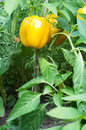 Yellow bell pepper plant in a garden Royalty Free Stock Image