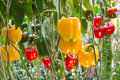 Yellow bell peppers Royalty Free Stock Photo