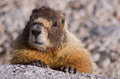 Yellow Bellied Marmot Royalty Free Stock Photography