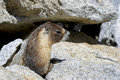 Yellow-bellied marmot, yosemite national park Royalty Free Stock Photos