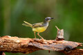 Yellow bellied prina beautiful flaviventris possing on log in forest of thailand Stock Photos