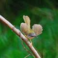 Yellow bellied prinia beautiful bird flaviventris standing on a branch back profile Royalty Free Stock Images