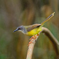 Yellow bellied prinia colorful bird flaviventris standing on a branch side profile Royalty Free Stock Image