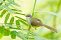 Yellow bellied prinia flaviventris finding some food Royalty Free Stock Photography