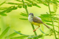 Yellow bellied prinia flaviventris in nature Stock Images