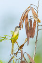 Yellow bellied prinia flaviventris singing Stock Photography