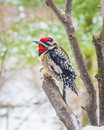 Yellow-Bellied Sapsucker Stock Image