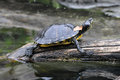 Yellow bellied slider basking a trachemys scripta scripta on a log at smithsonian national zoological park in washington d c usa Stock Photo