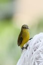Yellow bellied sunbird on a cloth Stock Images