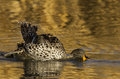 Yellow billed duck Stock Photos