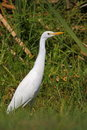 Yellow Billed Egret Royalty Free Stock Photography