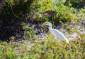 Yellow-billed Egret eating a lizard. Stock Photos